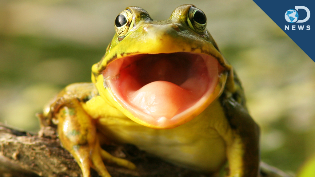Frog with Large Mouth