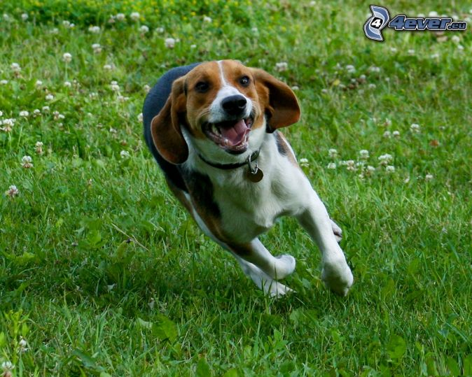 beagle-running-grass-230462